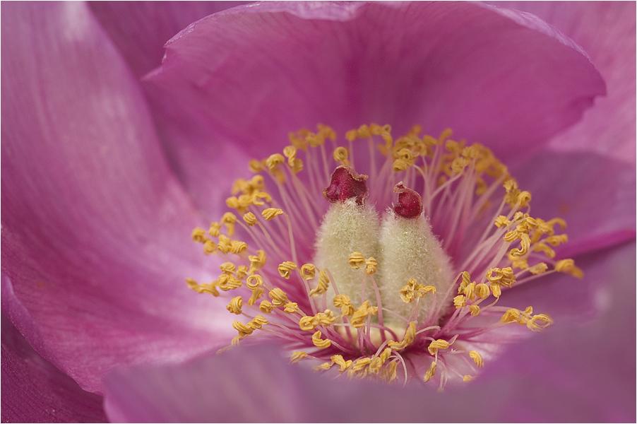 Träumerei in rosa