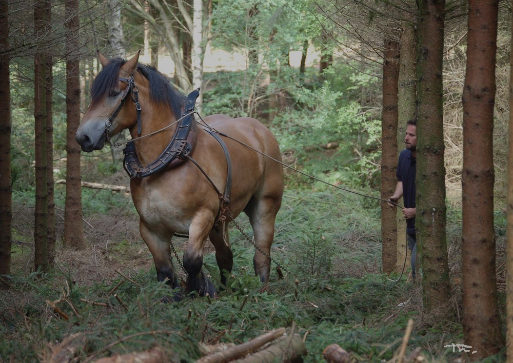 trait belge en foret