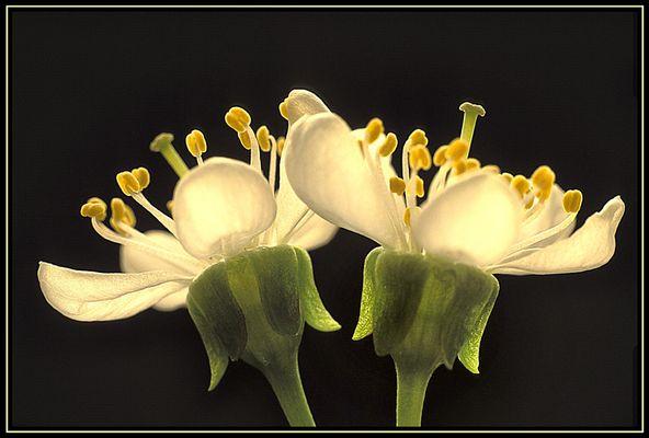 transparente Blüten