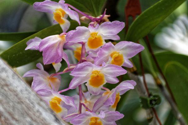 Transparente Orchidee