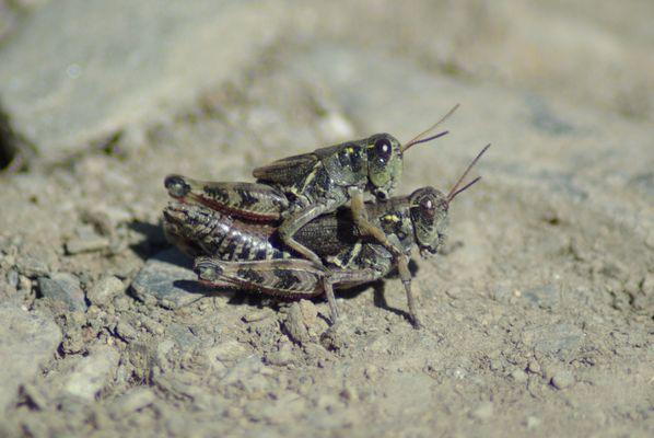 Transport à dos de sauterelle