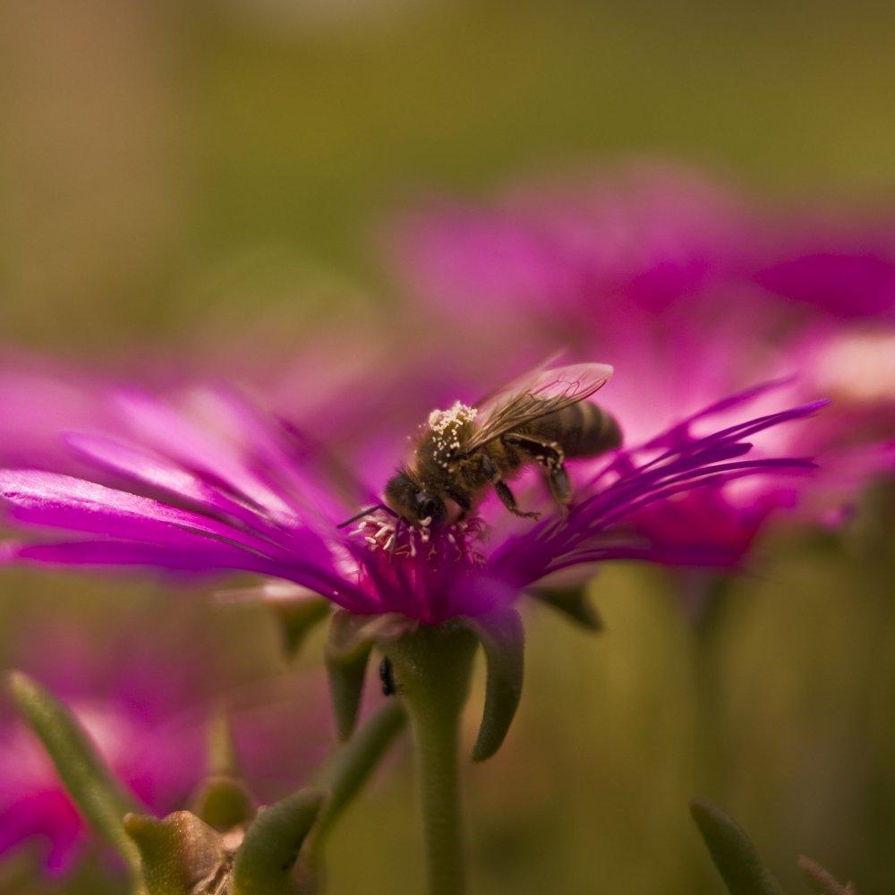 Transport du pollen