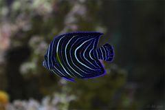 Trapez-Kaiserfisch (Pomacanthus rhombiodes)