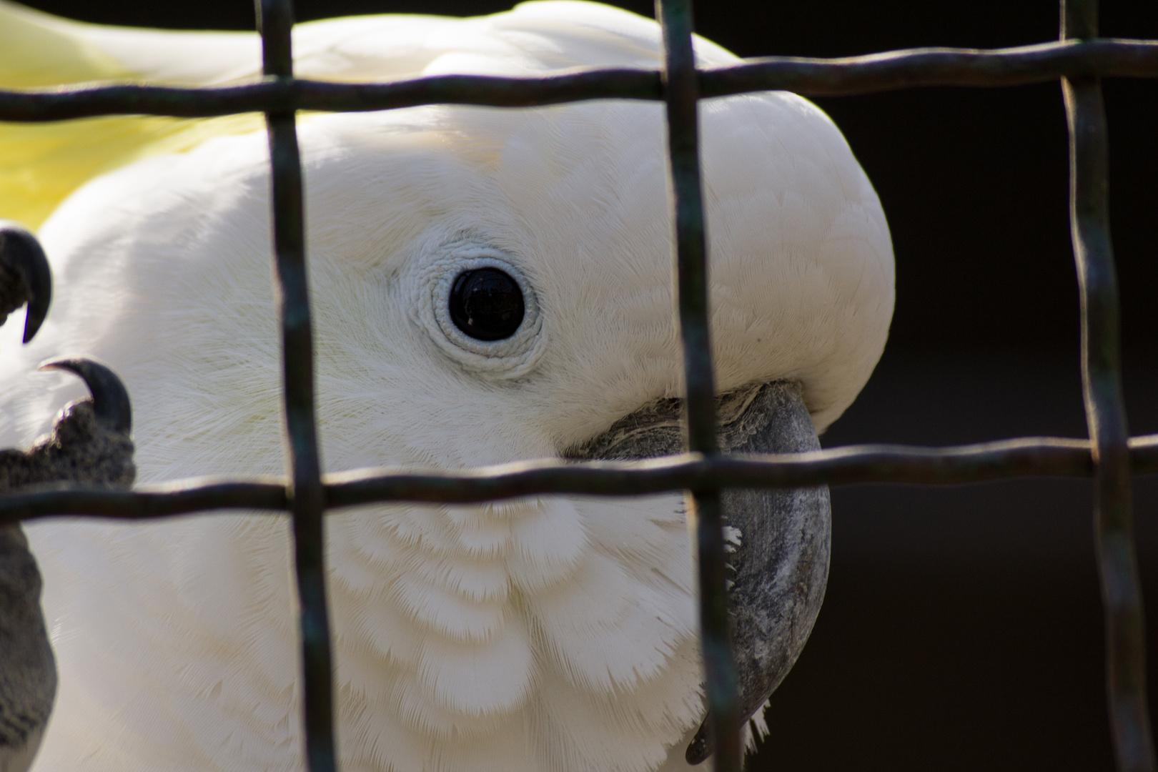 trapped kakadu