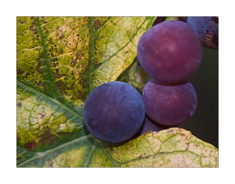 Trauben in Nachbars Garten