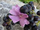 Trauben mit Blume