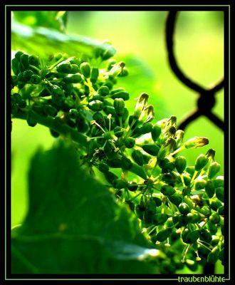 traubenblühte