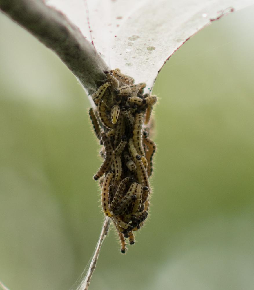 Traubenkirschen-Gespinstmotte (Yponomeuta evonymella)