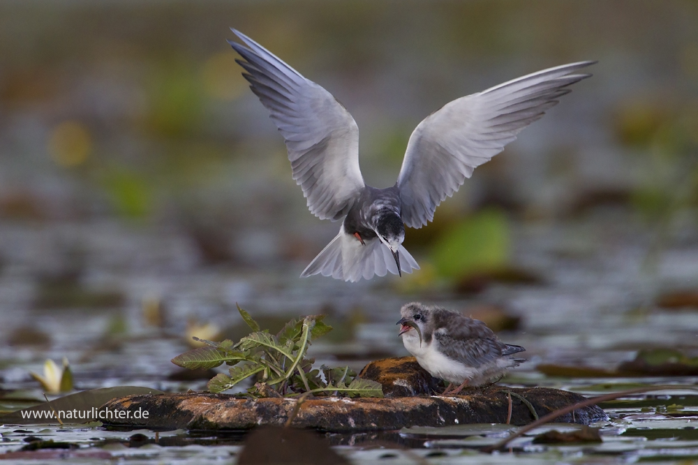 Trauerseeschwalbe füttert Jungvogel