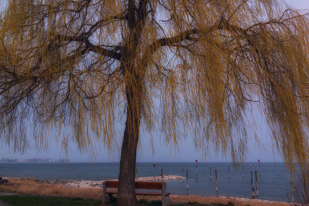 Trauerweide am Bodensee