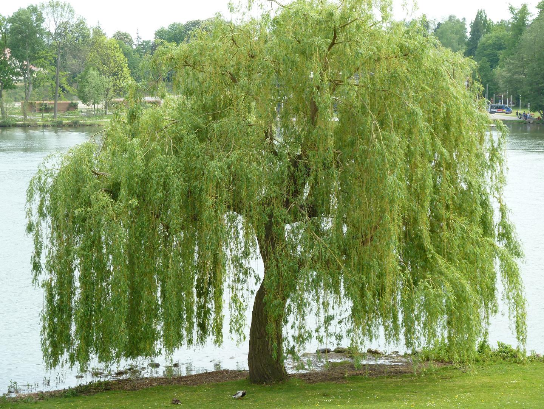 Trauerweide am Schweriner See