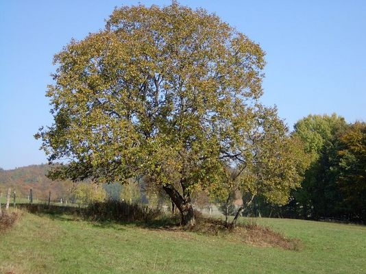 Traum-Baum