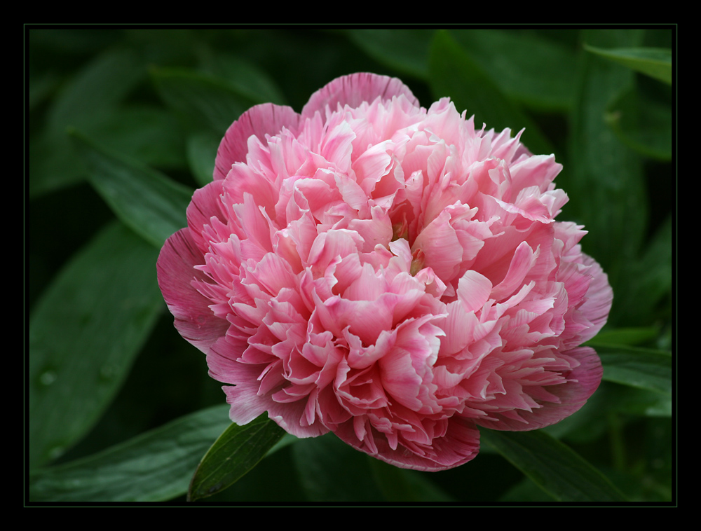 Traum in Rosa