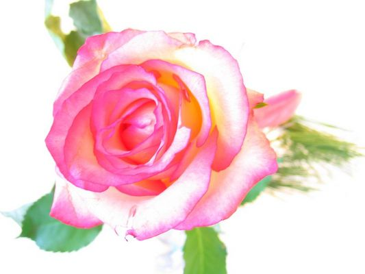Traum-Rose