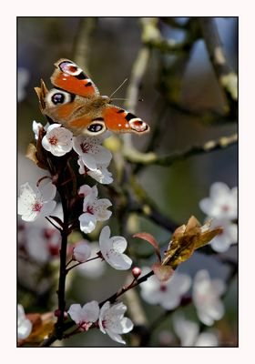 Traumbaum voller Blüten