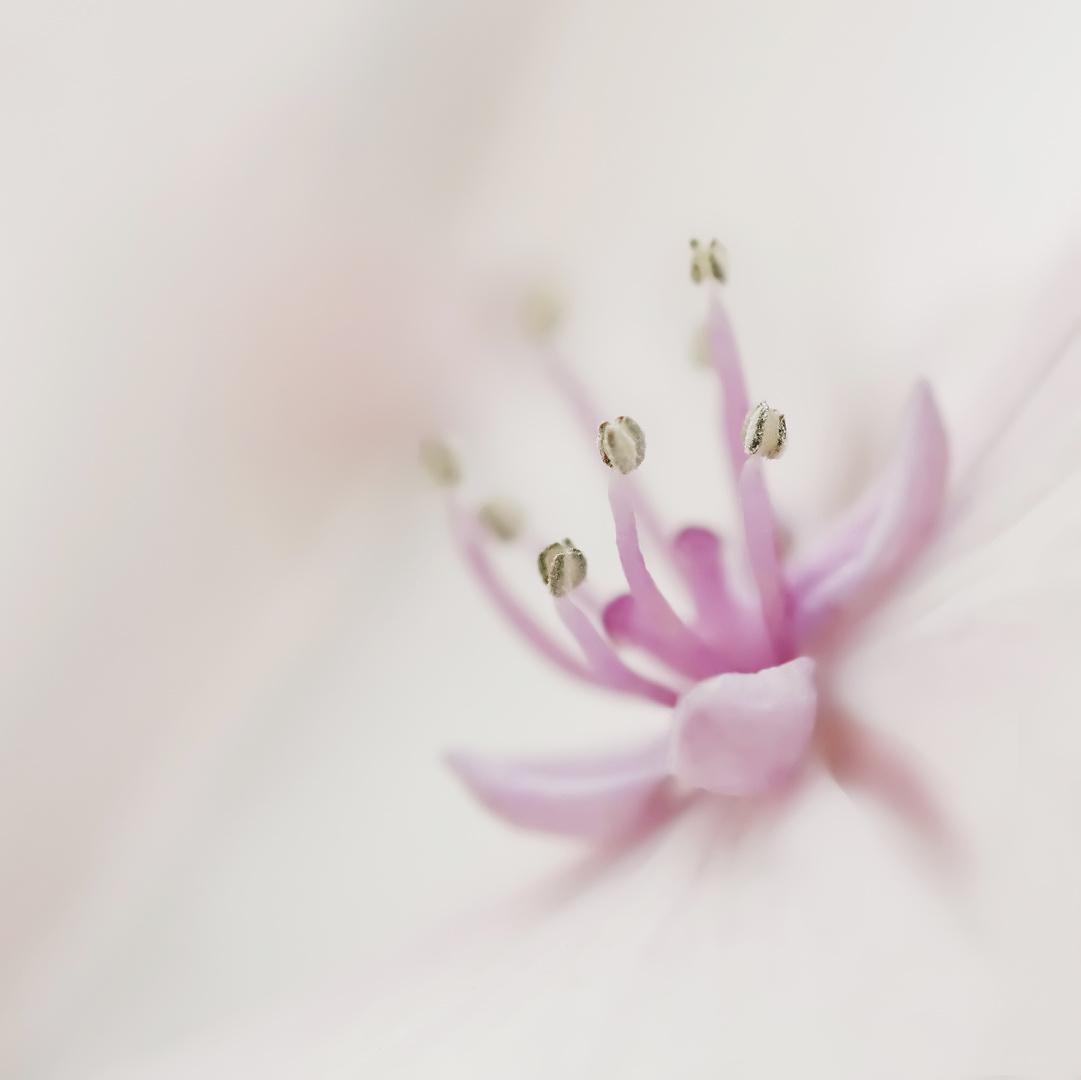 Traumblüte