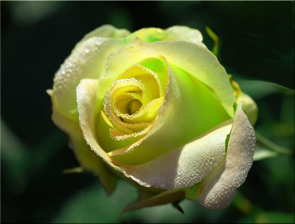 traumhaft sch n 1 foto bild pflanzen pilze flechten bl ten kleinpflanzen rosen. Black Bedroom Furniture Sets. Home Design Ideas