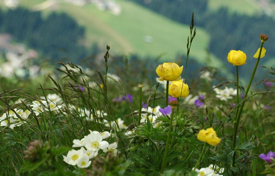 traumhaft sch n sind diese alpenwiesen foto bild pflanzen pilze flechten bl ten. Black Bedroom Furniture Sets. Home Design Ideas