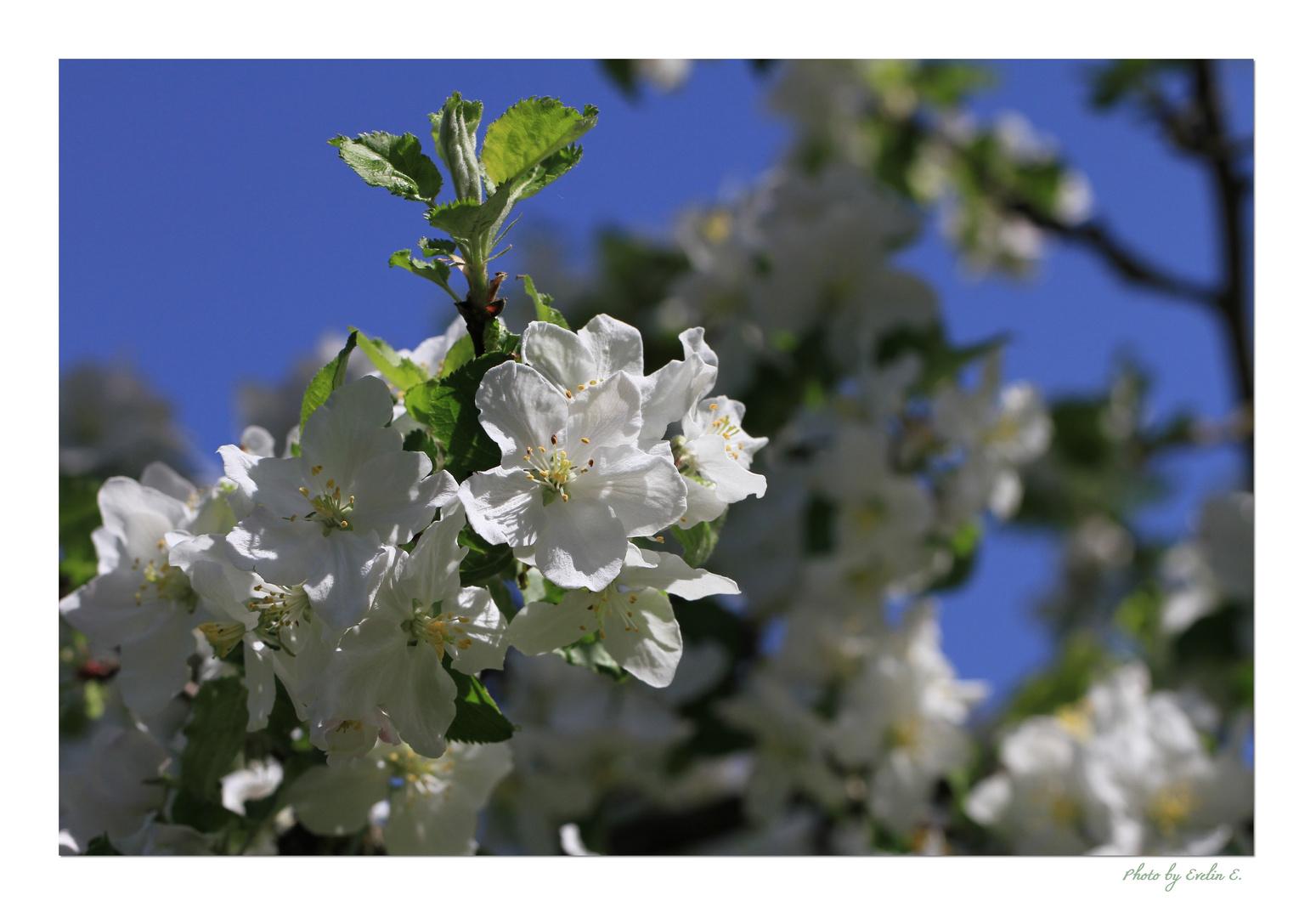 Traumhafte Blüten in Weiß
