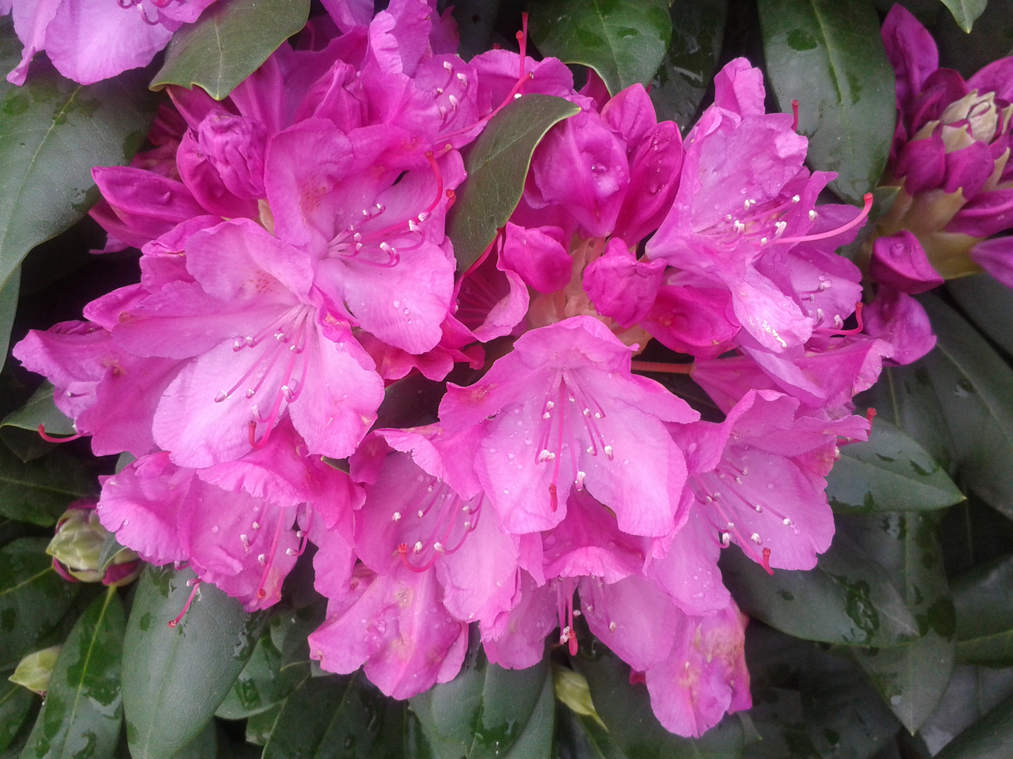 Traumhafte Rhododendron