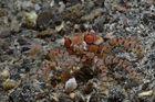 Traumwelten 38: Boxer-Krabbe