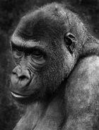 Traurige Gorilladame