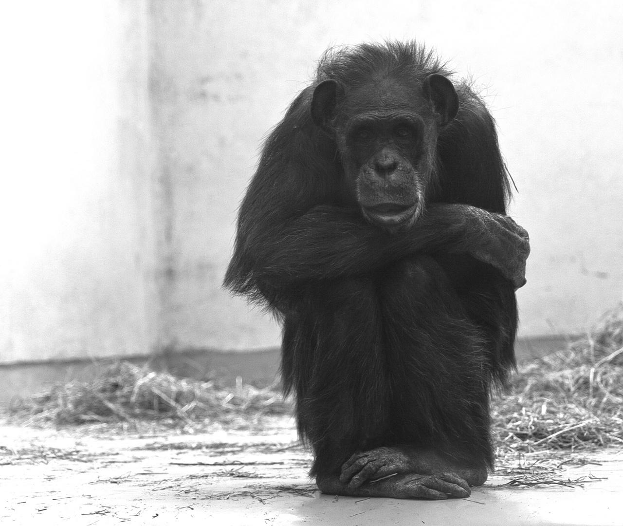 trauriger affe foto bild tiere zoo wildpark. Black Bedroom Furniture Sets. Home Design Ideas