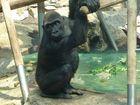 Trauriger Affenblick ( Münchner Zoo )