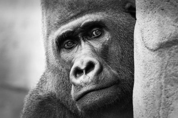 Trauriger Gorilla