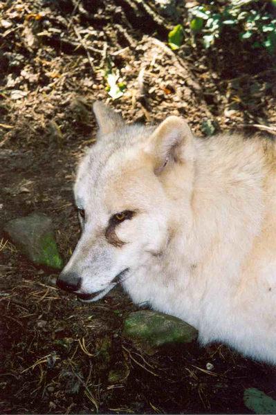 Trauriger Wolf