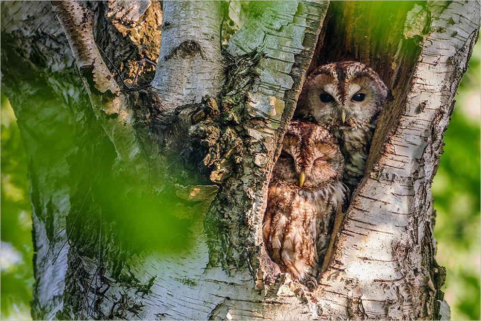 Traute Zweisamkeit bei den Waldkäuzen (2)