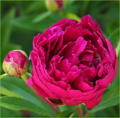 Jardins images photos - Rouge comme une pivoine ...