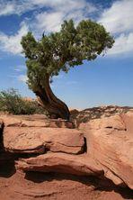 Tree @ Capitol Reef