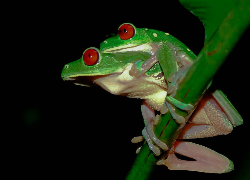 Tree frogs Costa Rica 07/09