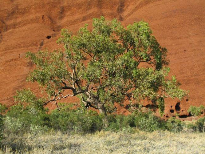 Tree in front of Uluru