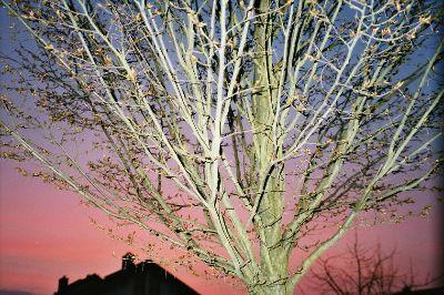 Tree in Langen, Germany