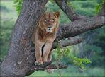 Tree Lion in Uganda