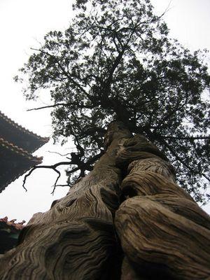 Tree of Confucius