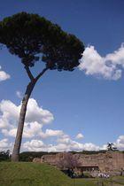 tree roman