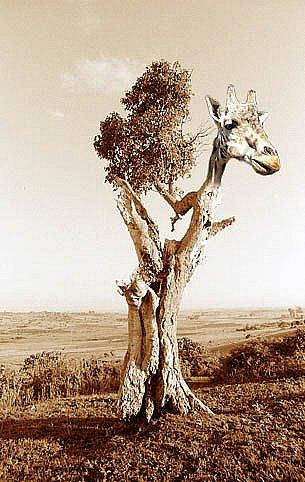 Treeraffe