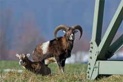 Treffpunkt: Starkstrommast - Wilde Mufflons