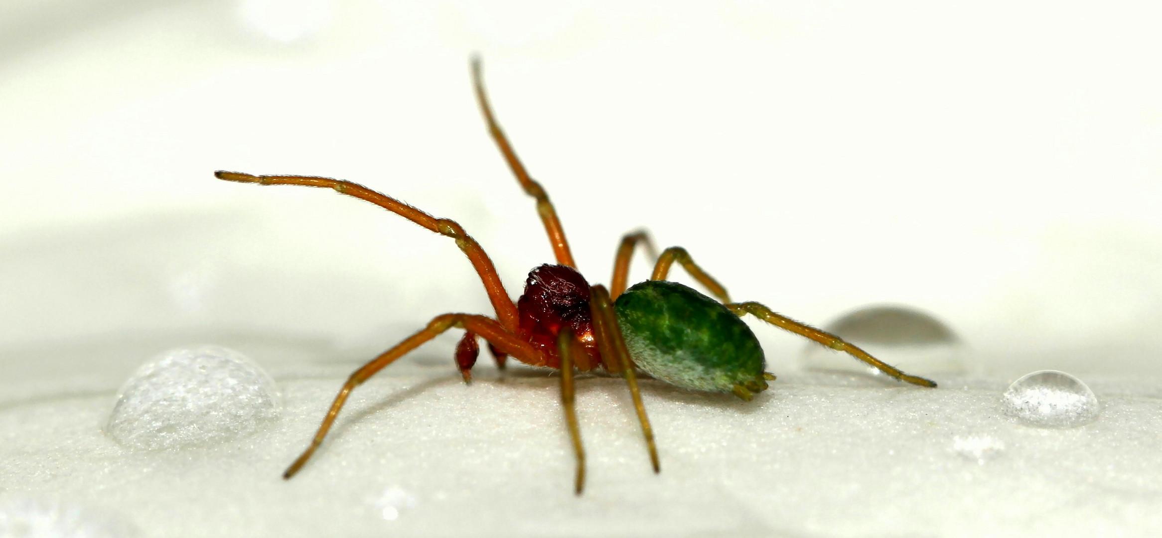 très petite araignée