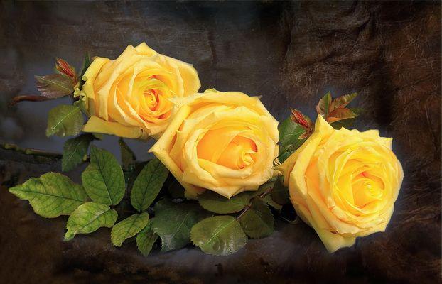 Tres rosas amarillas