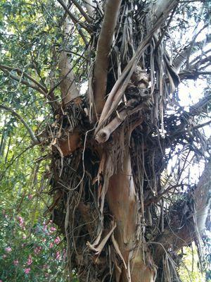 Très vieil arbre