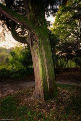 Trezzo d'Adda, grande albero