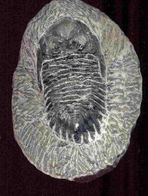 Tribolit aus dem Jura - 3D-Test