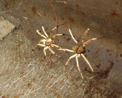 Trichternetz Spinnenpaar GR