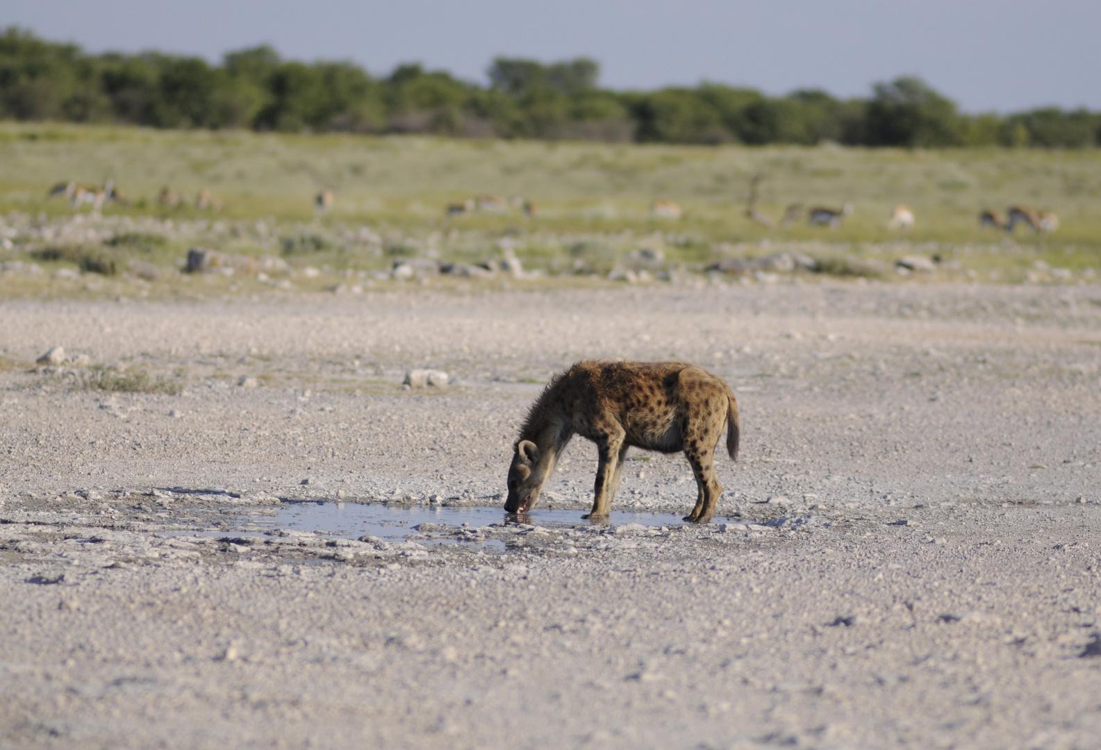 Trinkende Hyäne