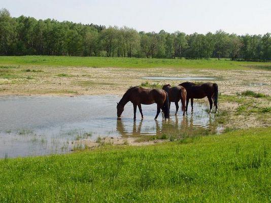 trinkende Pferde