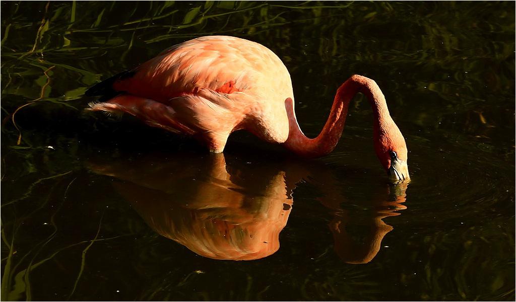Trinkender Flamingo